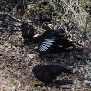 Corcorax melanorhamphos at Red Hill Nature Reserve - 18 Sep 2019