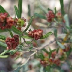 Dodonaea viscosa at Deakin, ACT - 18 Sep 2019