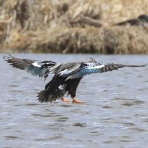 Spatula rhynchotis at Jerrabomberra Wetlands - 16 Sep 2019