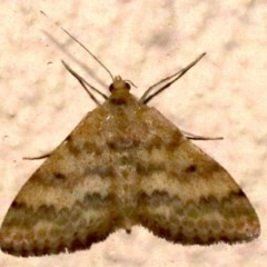 Scopula rubraria (Reddish Wave) at Ainslie, ACT - 16 Sep 2019 by jbromilow50
