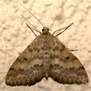Scopula rubraria at Ainslie, ACT - 16 Sep 2019