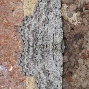 Psilosticha absorpta at Kambah, ACT - 19 Sep 2019