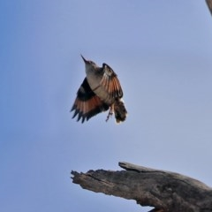Daphoenositta chrysoptera (Varied Sittella) at Namadgi National Park - 18 Sep 2019 by RodDeb