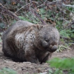 Vombatus ursinus (Wombat) at Namadgi National Park - 18 Sep 2019 by ChrisHolder