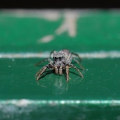 Salticidae (family) (Unidentified Jumping spider) at ANBG - 13 Sep 2019 by TimL