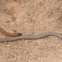 Aprasia parapulchella (Pink-tailed Worm-lizard) at Dunlop, ACT - 19 Sep 2019 by Harrisi