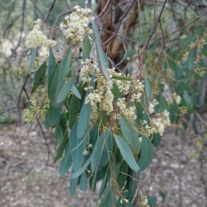 Eucalyptus polyanthemos at Red Hill Nature Reserve - 20 Sep 2019