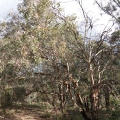 Eucalyptus polyanthemos at Red Hill Nature Reserve - 20 Sep 2019