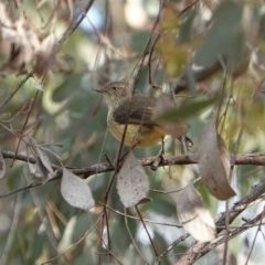 Acanthiza reguloides (Buff-rumped Thornbill) at Red Hill Nature Reserve - 20 Sep 2019 by JackyF