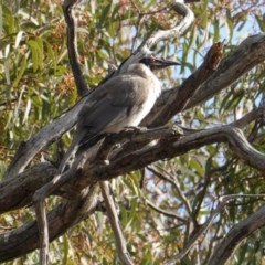 Philemon corniculatus (Noisy Friarbird) at Red Hill Nature Reserve - 20 Sep 2019 by JackyF