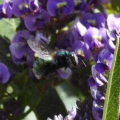Xylocopa aeratus (Metallic Green Carpenter Bee) at ANBG - 20 Sep 2019 by HelenCross