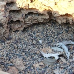 Iridomyrmex purpureus (Meat Ant) at Hughes, ACT - 20 Sep 2019 by JackyF