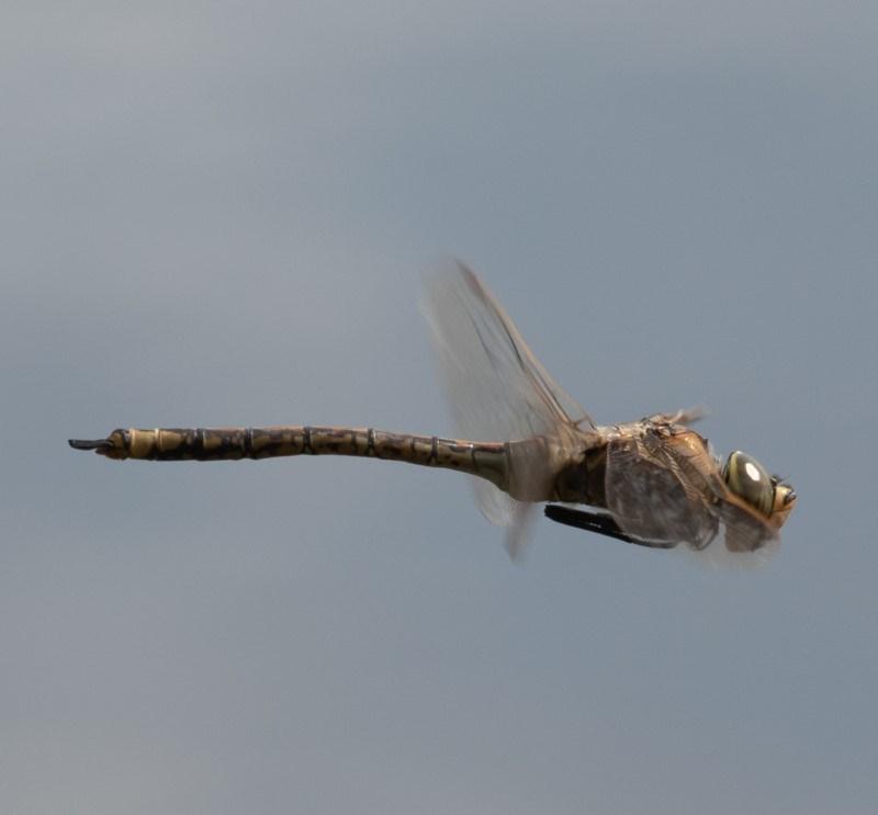 Anax papuensis at Jerrabomberra Wetlands - 20 Sep 2019