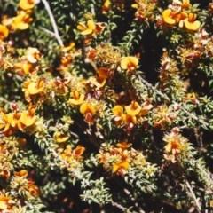Pultenaea procumbens (Bush Pea) at Conder, ACT - 27 Oct 1999 by michaelb