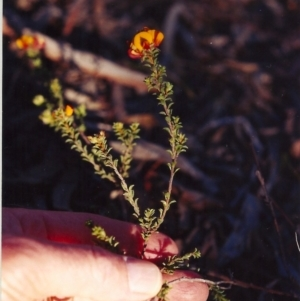 Pultenaea procumbens at Gungaderra Grasslands - 21 Nov 2004