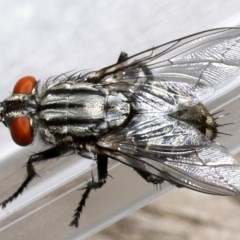 Sarcophagidae sp. (family) (Unidentified flesh fly) at Ainslie, ACT - 19 Sep 2019 by jbromilow50
