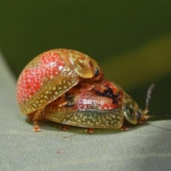 Paropsisterna fastidiosa (Eucalyptus leaf beetle) at ANBG - 20 Sep 2019 by TimL
