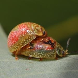 Paropsisterna fastidiosa at ANBG - 20 Sep 2019