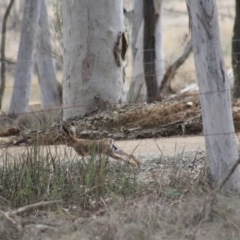 Lepus capensis (Brown Hare) at Gundaroo, NSW - 18 Sep 2019 by Gunyijan