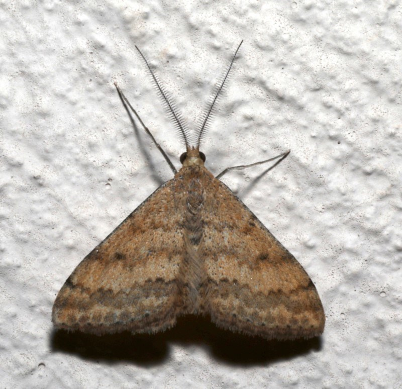 Scopula rubraria at Ainslie, ACT - 19 Sep 2019
