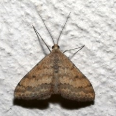Scopula rubraria (Reddish Wave) at Ainslie, ACT - 19 Sep 2019 by jbromilow50