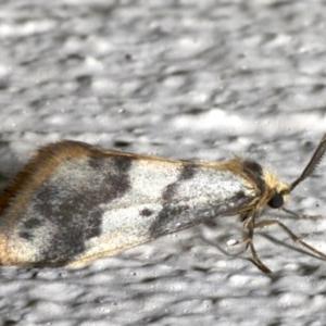 Anestia (genus) at Ainslie, ACT - 19 Sep 2019
