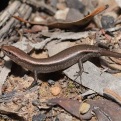 Lampropholis delicata (Delicate Skink) at ANBG - 20 Sep 2019 by Tim L