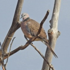 Streptopelia chinensis (Spotted Dove) at Jerrabomberra Wetlands - 20 Sep 2019 by RodDeb