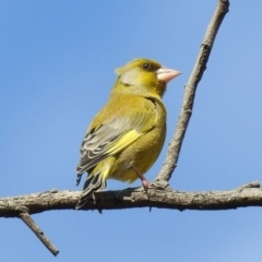 Chloris chloris (Common Greenfinch) at Jerrabomberra Wetlands - 20 Sep 2019 by RodDeb