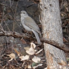 Colluricincla harmonica (Grey Shrike-thrush) at Red Hill Nature Reserve - 21 Sep 2019 by JackyF