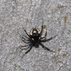 Euryopis sp. (genus) (An ant eating spider) at ANBG - 20 Sep 2019 by TimL
