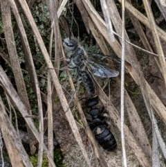Tiphiidae sp. (family) (Unidentified Smooth flower wasp) at Black Mountain - 22 Sep 2019 by MattM