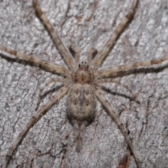 Tamopsis sp. (genus) (Two-tailed spider) at ANBG - 20 Sep 2019 by TimL