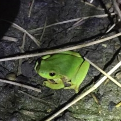 Litoria nudidigita (Leaf Green Tree Frog) at Depot Beach Bushcare - 21 Sep 2019 by AndrewCB
