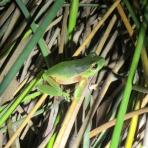 Litoria nudidigita at Depot Beach Bushcare - 21 Sep 2019