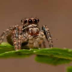 Servaea sp. (genus) (Unidentified Servaea jumping spider) at ANBG - 21 Sep 2019 by rawshorty