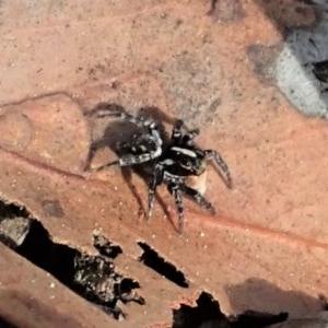 Salticidae (family) at Aranda Bushland - 18 Sep 2019