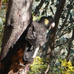 Zanda funereus (Yellow-tailed Black-Cockatoo) at Red Hill Nature Reserve - 23 Sep 2019 by JackyF