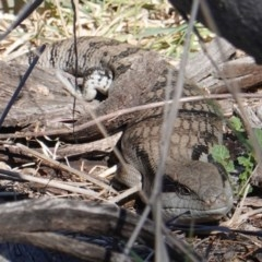 Tiliqua scincoides scincoides (Eastern Blue-tongue) at Deakin, ACT - 23 Sep 2019 by JackyF