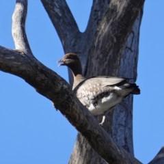 Chenonetta jubata (Australian Wood Duck) at Red Hill Nature Reserve - 23 Sep 2019 by JackyF