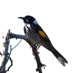 Phylidonyris novaehollandiae (New Holland Honeyeater) at Jerrabomberra Wetlands - 22 Aug 2019 by jbromilow50
