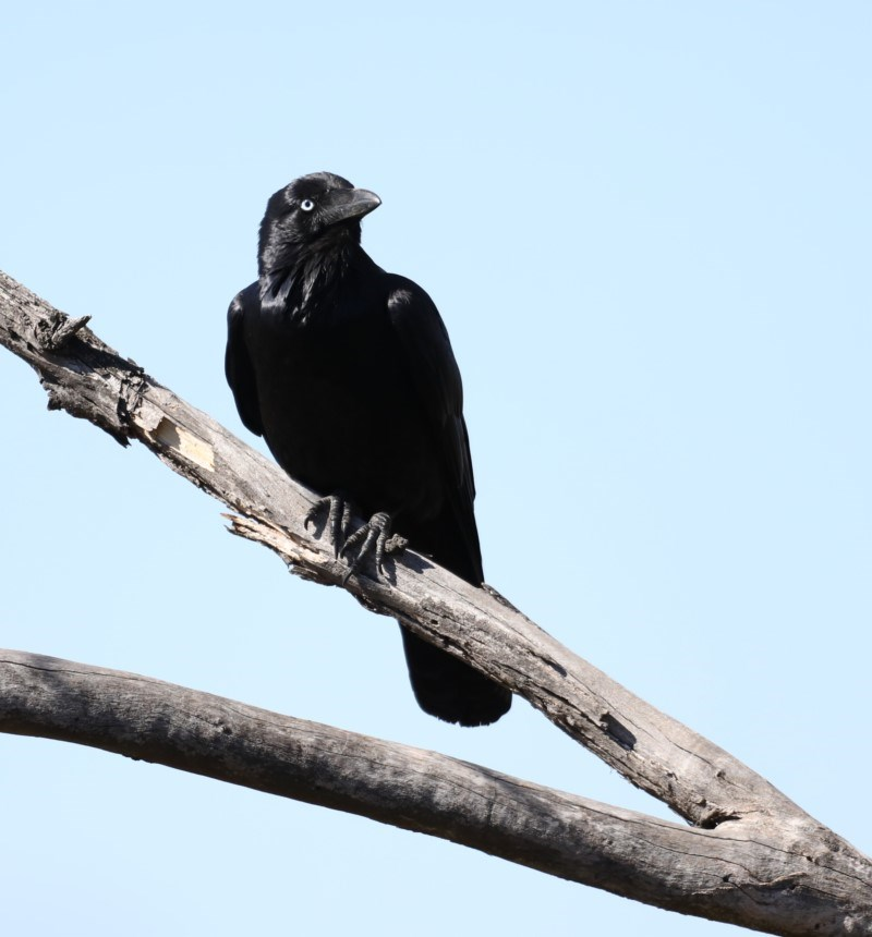 Corvus coronoides at Jerrabomberra Wetlands - 22 Aug 2019
