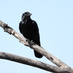 Corvus coronoides (Australian Raven) at Jerrabomberra Wetlands - 22 Aug 2019 by jbromilow50