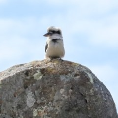 Dacelo novaeguineae (Laughing Kookaburra) at The Pinnacle - 22 Sep 2019 by Alison Milton