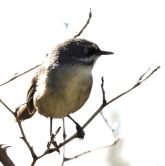 Sericornis frontalis (White-browed Scrubwren) at Jerrabomberra Wetlands - 22 Aug 2019 by jbromilow50