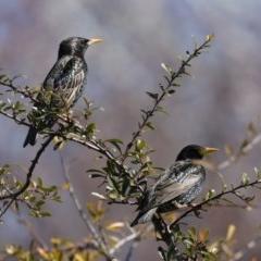 Sturnus vulgaris (Common Starling) at Jerrabomberra Wetlands - 22 Aug 2019 by jbromilow50