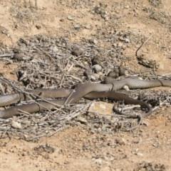 Pseudonaja textilis (Eastern Brown Snake) at Michelago, NSW - 8 Sep 2019 by Illilanga