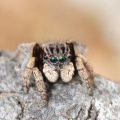Maratus vespertilio (Bat-like peacock spider) at Percival Hill - 22 Sep 2019 by Harrisi