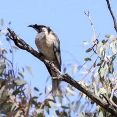 Philemon corniculatus (Noisy Friarbird) at The Pinnacle - 22 Sep 2019 by Alison Milton
