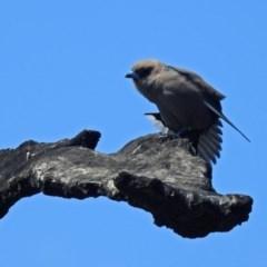 Artamus cyanopterus (Dusky Woodswallow) at Denman Prospect, ACT - 24 Sep 2019 by RodDeb
